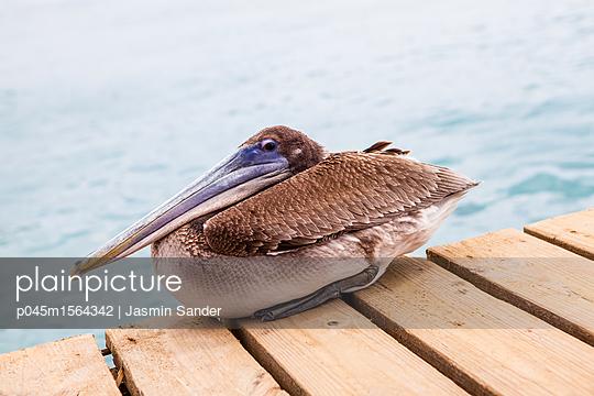 Pelikan ruht sich aus - p045m1564342 von Jasmin Sander