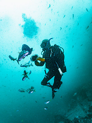 diver feeding fish with sea urchin at South West Rocks - p1166m2261620 by Cavan Images