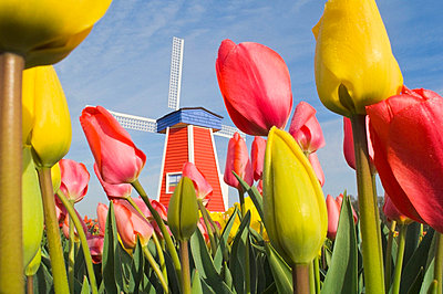 Windmill and Tulips at Wooden Shoe Tulip Farm; Woodburn, Oregon, USA - p4429197 by Dan Sherwood