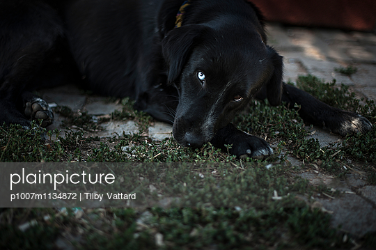 Black dog with a white eye - p1007m1134872 by Tilby Vattard