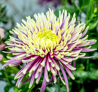Chrysanthemum flower - p401m2264024 by Frank Baquet