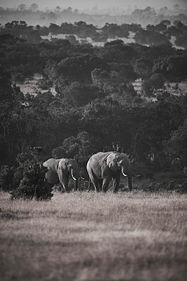 Two elephants, Kenya - p706m2158442 by Markus Tollhopf