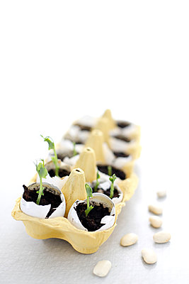 Pea sprouts planted in eggshells placed in an egg carton   - p847m988572 by Matilda Hagberg