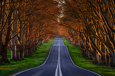 Early spring sunlight on the avenue of ancient beech trees near Kingston Lacy, Dorset, England, United Kingdom, Europe - p871m2023394 by Baxter Bradford