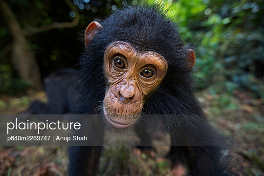 Eastern chimpanzee (Pan troglodytes schweinfurtheii) infant male 'Gizmo' aged 4 years portrait . Gombe National Park, Tanzania.    May 2014. - p840m2269747 by Anup Shah