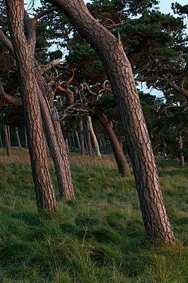 Windswept pinewoods by the coast Sweden - p5750167f by Sven Halling