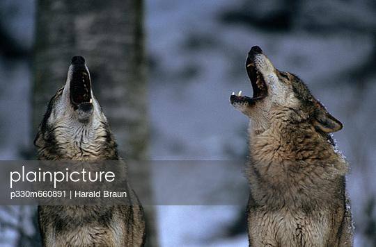 Heulende Wölfe - p330m660891 von Harald Braun