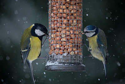 Close-up of birds eating food from feeder during snowfall - p1166m1561458 by Cavan Images