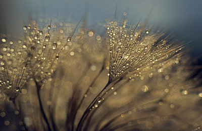 Water droplets on plant - p555m1301651 by Valeriya Tikhonova