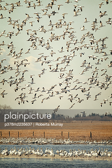 Flock of sw geese - p378m2235637 by Roberta Murray