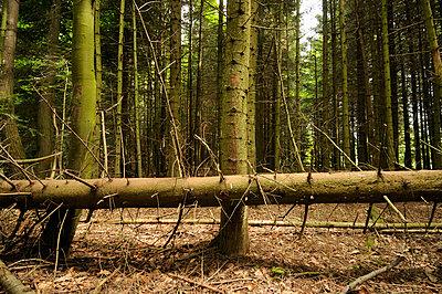 Coniferous tree - p8130129 by B.Jaubert
