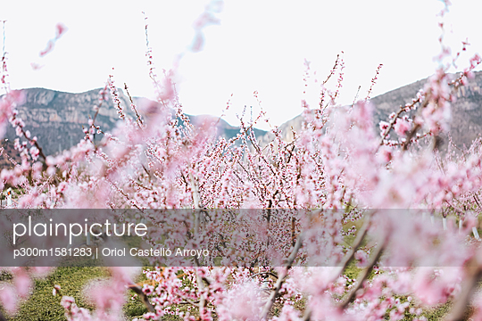 Spain, Lleida, Cherry blossoms - p300m1581283 by Oriol Castelló Arroyo