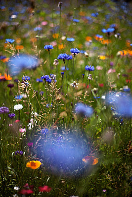 Cornflowers (Centaurea cyanus) in summer meadow - p1028m1147190 by Jean Marmeisse