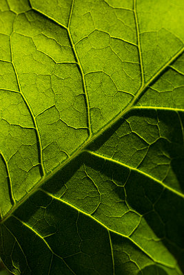 Macro shot of fresh green leaf - p301m1498837 by Tobias Titz