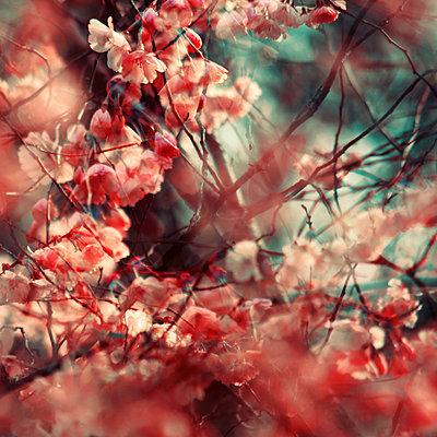 Kirschblüten - p416m1081146 von Stephanie Jung