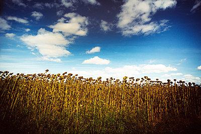 Vertrocknete Sonnenblumen auf einem Feld - p813m1481222 von B.Jaubert