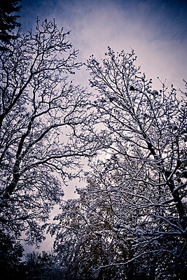 Trees branches covered with snow - p965m1510683 by VCreative