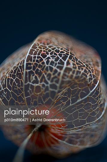Lampionblume - p310m890471 von Astrid Doerenbruch