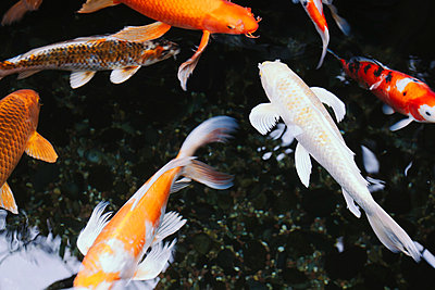 Koi fish in a pond, in Seattle city.  - p1100m876003f by Paul Edmondson