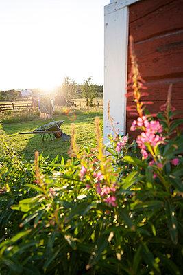 Flowers in garden, Norrbotten, Sweden - p312m927035f by Fredrik Ludvigsson