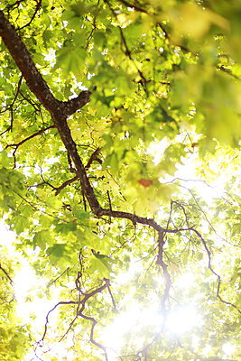 Tree branches with green leaves against the light   - p8477164 by Daniel Månsson