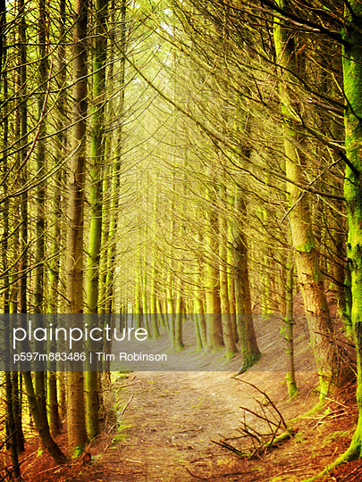 Path through conifer forest - p597m883486 by Tim Robinson