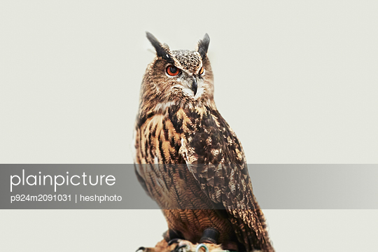 Owl against white background - p924m2091031 by heshphoto