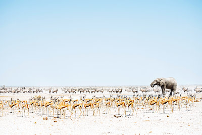 Namibia, Etosha National Park, elephant surrounded by Springboks and Oryx - p300m1450281 by Gemma Ferrando