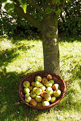 Apples under the tree - p382m1559323 by Anna Matzen
