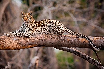 Leopard - p1100m887767f by Art Wolfe