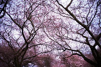 Blühende Bäume - p1180m1072526 von chillagano