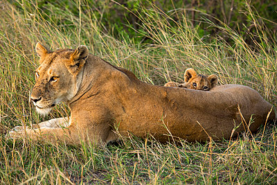 lioness with cub relaxing on field at Serengeti National Park - p1166m1521328 by Cavan Images