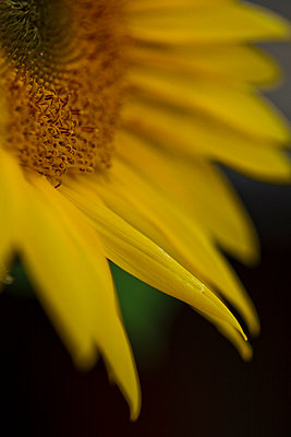 Macro of Sunflower - p1166m2072054 by Cavan Images