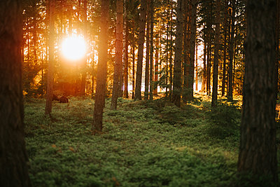 Sunbeams illuminate the forest - p1507m2193680 by Emma Grann