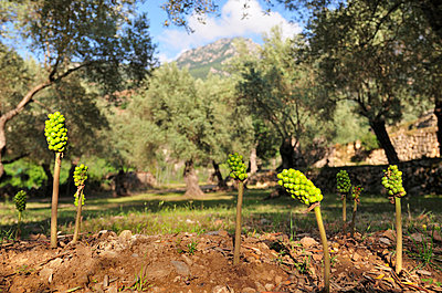 Flowers in the olive grove - p8850139 by Oliver Brenneisen