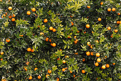 Orange Trees - p2687567 by Rudi Sebastian