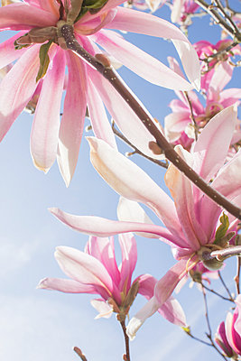 Pink magnolia flowers - p312m956836f by Christina Strehlow