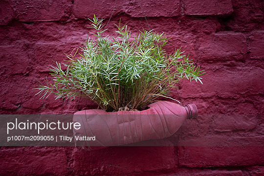Green plant in a pink bottle recycled as a flower pot - p1007m2099055 by Tilby Vattard