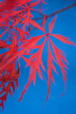 Autumnal Japanese Maple leaf against a blue background - p1047m1203549 by Sally Mundy