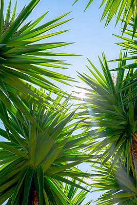 Spiny leaves of palm trees  - p1057m2124797 by Stephen Shepherd