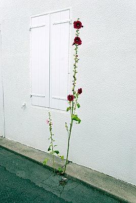 A rose, Le Château-d'Oléron - p260m918259 by Frank Dan Hofacker