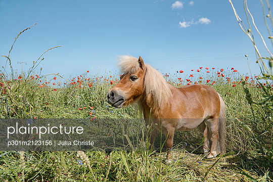 Pony in sunny rural field with poppy wildflowers - p301m2123156 by Julia Christe