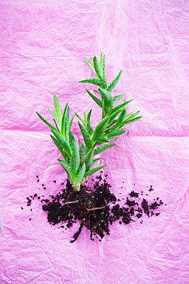 Succulent - p1149m2027177 by Yvonne Röder