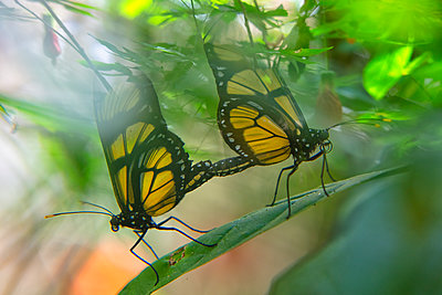 Two Dircenna dero butterflies on a leaf, Iguazu, Brazil - p300m2188447 by David Santiago Garcia
