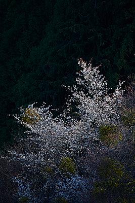Blooming cherry blossoms at Mount Yoshino, Nara Prefecture, Japan - p307m1495892 by MATSUO.K