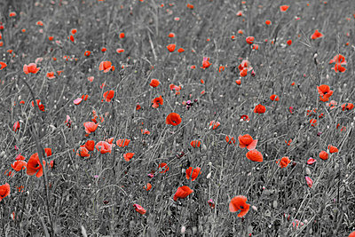 Field of poppies - p4500416 by Hanka Steidle