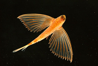 Flying Fish small with one set of wings - p8841240 by Norbert Wu
