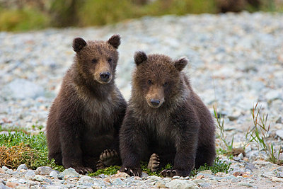 Grizzly Bear pair of six to eight month old cubs - p884m864728 by Suzi Eszterhas