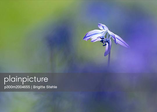 Blossom of Squill - p300m2004655 von Brigitte Stehle