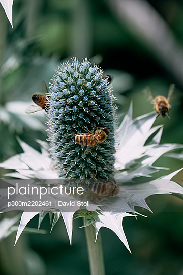 Bees flying around Miss Willmotts ghost (Eryngium giganteum) plant - p300m2202461 by David Stoll